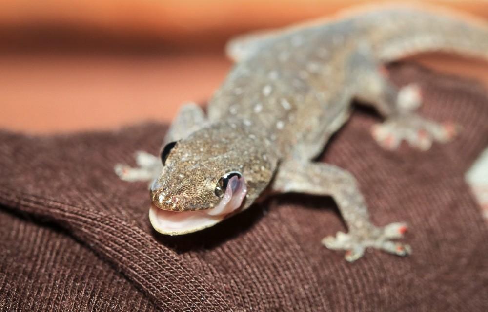 gecko au costa rica